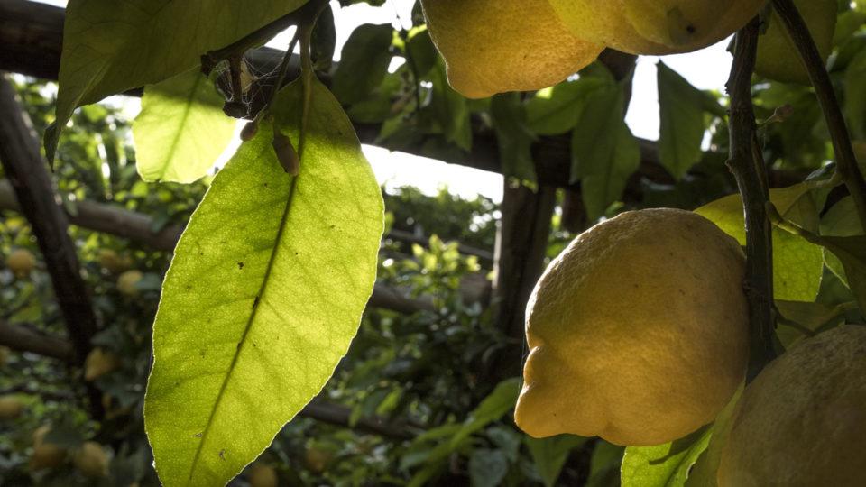 lemon garden